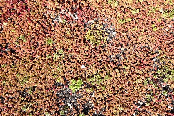 Sedum bodembedekker